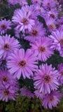 Rosa violett tapet för höstnedgångblommor arkivbild