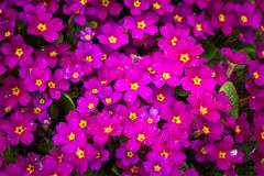 Rosa violett tapet på ditt skrivbord Royaltyfri Bild