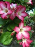 Rosa & vit Adenium Arkivfoton