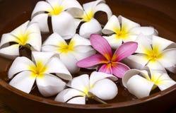 Rosa/vit frangipani Arkivbild