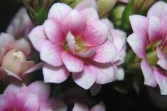 Rosa vita blommor för mycket trevlig blomfillokaktus Fotografering för Bildbyråer