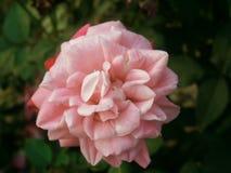 Rosa vitro Royaltyfri Foto