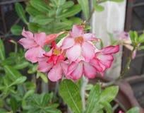 Rosa Wüste Blume, Adenium obesum Lizenzfreies Stockfoto
