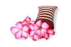 Rosa Wüste Rose Flower oder Adenium obesum in den Korbwaren Stockbilder