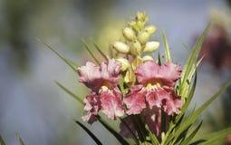 Rosa Wüsten-Weide Stockbild