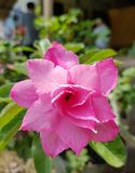 Rosa Wüstenrose Stockfotos