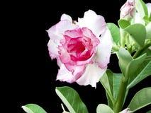 Rosa Wüstenrose Stockbild