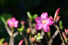 Rosa Wüstenrose Lizenzfreie Stockbilder