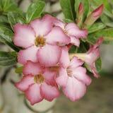 Rosa Wüstenrose, Adenium obesum Stockfoto