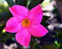 Rosa Wüstenrose auch bekannt durch das Namen Adenium obesum, Impalalilie, Scheinazalee, Sabi-Stern, Kudu-Blume Stockbild
