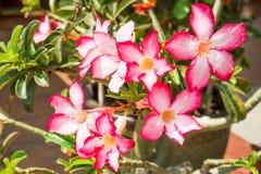 Rosa Wüstenrose, Impala-Lilie oder Spott-Azalee mit wissenschaftlichem Namen als Adenium: Ein der populären Blume für Hausgarten Stockfotografie