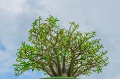 Rosa Wüstenrosebaum stockbild