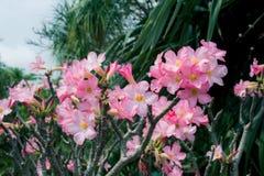 Rosa Wüstenroseblühen Lizenzfreie Stockfotografie