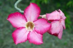 Rosa Wüstenroseblume (andere Namen sind Wüstenrose, Schein-Azale Lizenzfreies Stockbild