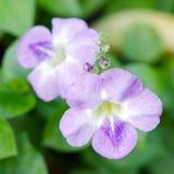 Rosa Wüstenroseblume andere Namen sind Wüstenrose, Schein-Azale Lizenzfreie Stockfotografie