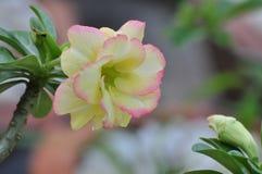 Rosa Wüstenroseblume Schöne rosa Blumen Lizenzfreies Stockbild