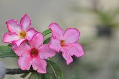 Rosa Wüstenroseblume Schöne rosa Blumen Stockbild