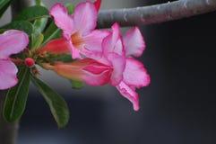 Rosa Wüstenroseblume Schöne rosa Blumen Lizenzfreie Stockbilder