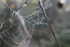 Rosa w ranku słońcu na pająka ` s sieci Szczegółu pająka nić Fotografia Royalty Free
