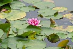 Rosa Wasser-Lilien-Blüte Stockfotografie