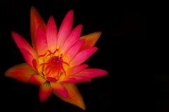 Rosa Wasserlilie Stockbild