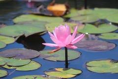 Rosa Wasserlilie Lizenzfreie Stockfotos