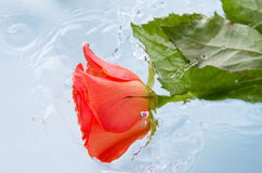 Rosa in water Royalty Free Stock Photo