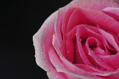 Rosa waterdrop Royaltyfria Bilder