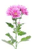 rosa waterdrops för blommor Arkivfoton