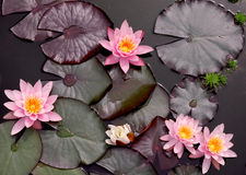 rosa waterlillies Arkivbild