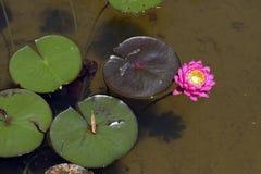 Rosa waterlilly en el lago oscuro Imágenes de archivo libres de regalías