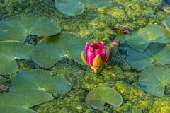 Rosa waterlily en el lago Fotografía de archivo