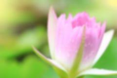 Rosa waterlily en la charca de la naturaleza imagen de archivo