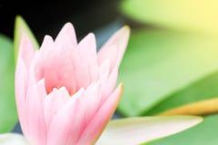 Rosa waterlily nello stagno della natura Fotografie Stock
