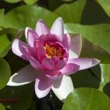 Rosa waterlily o flor de loto que florece en la charca Imagenes de archivo