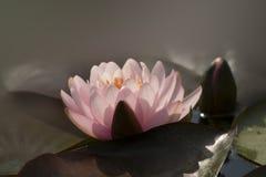 Rosa waterlily ou flor de lótus na lagoa Fotos de Stock