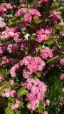 Rosa Weißdornblüte lizenzfreies stockbild