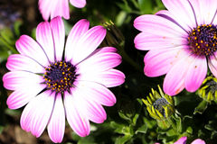 rosa weiße Blume Stockfotos
