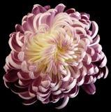 Rosa-weiße Blumenchrysantheme Bunte Gartenblume Schwarzes lokalisierter Hintergrund mit Beschneidungspfad keine Schatten nahaufna Lizenzfreies Stockfoto