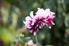 Rosa weiße Chrysanthemendahlie Stockfotografie