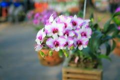 Rosa-weiße Dendrobium-Orchidee Stockfoto