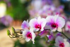 Rosa-weiße Dendrobium-Orchidee Lizenzfreies Stockfoto