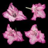 Rosa-weiße Gladioleblumen auf einem schwarzen Hintergrund Stockbilder