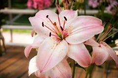 Rosa-weiße Lilie mit den langen Blumenblättern, dunklem Kern, den grünen Staubgefässen und dem orange Blütenstaub Lizenzfreie Stockfotos