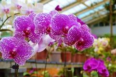 Rosa-weiße Orchidee Stockfoto