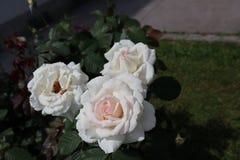 Rosa-weiße Rosen stockfotografie