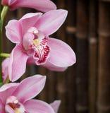 Rosa weiße und kastanienbraune Dendrobium-Orchidee Stockfotos