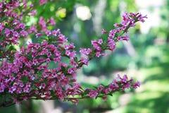 Rosa Weigela-Blume lizenzfreies stockbild