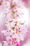 Rosa weinende Kirschblüten Stockfotografie