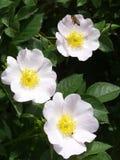 rosa white royaltyfri foto